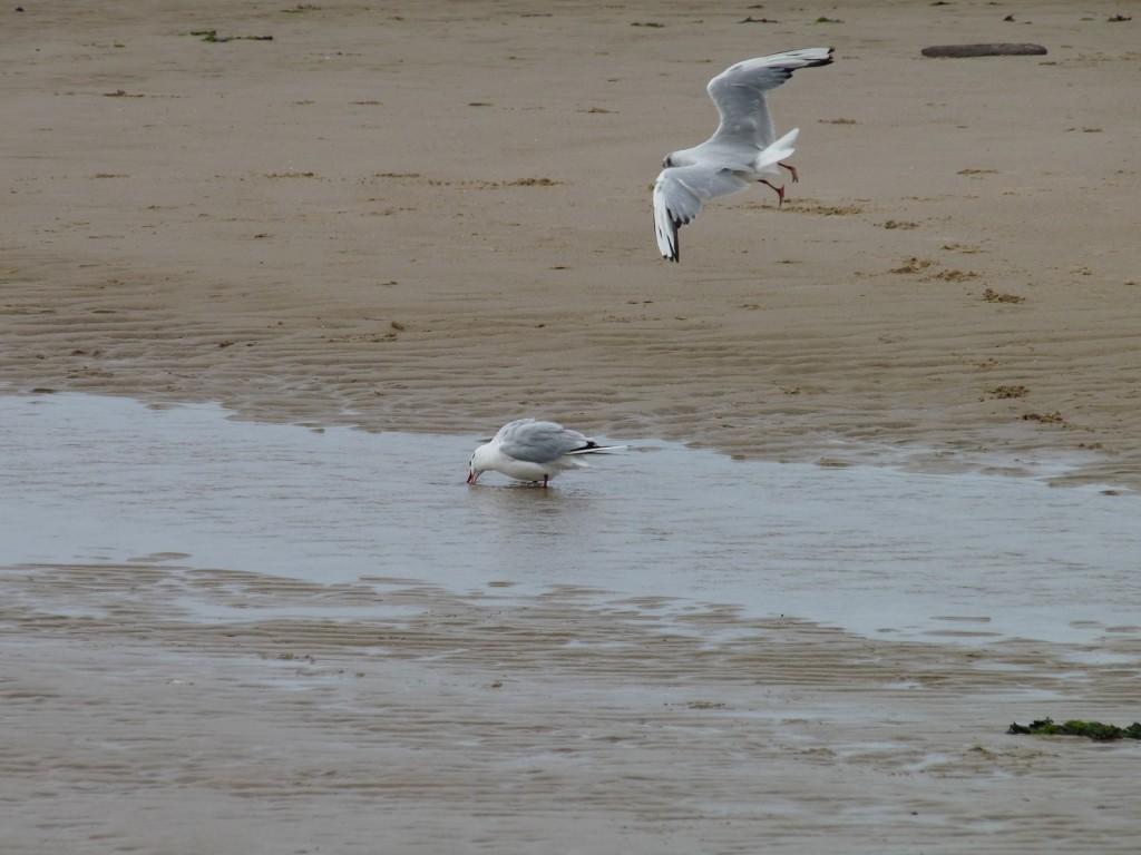 Mouettes sur la plage de Wissant